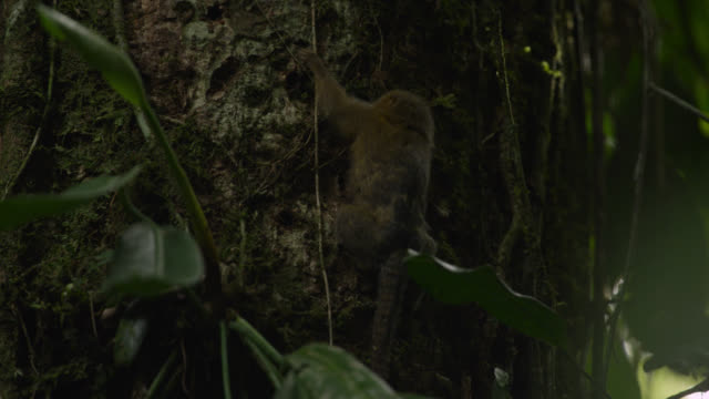 """pygmy marmoset (cebuella pygmaea) gnaws at tree trunk in forest, tiputini, ecuador"" - neuweltaffen und hundsaffen stock-videos und b-roll-filmmaterial"