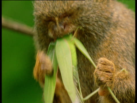 pygmy marmoset holds and chews at headless bush cricket, manu, peru - decapitated stock videos & royalty-free footage