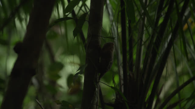 "vidéos et rushes de ""pygmy marmoset (cebuella pygmaea) leaps from tree trunk in forest, tiputini, ecuador"" - mammifère"