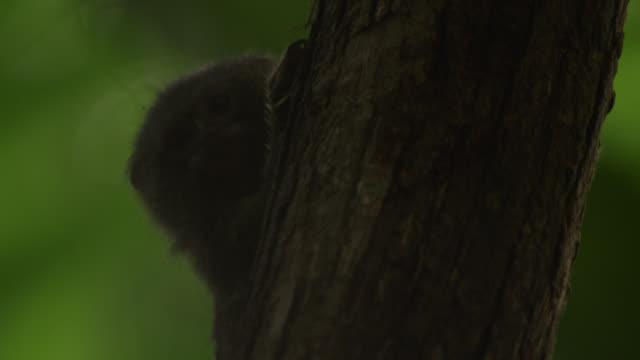 "vidéos et rushes de ""pygmy marmoset (cebuella pygmaea) on tree trunk in forest, tiputini, ecuador"" - mammifère"