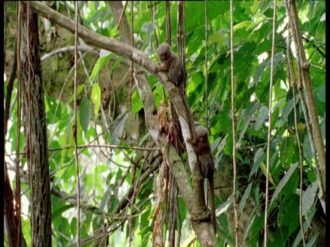 Pygmy marmosets leap from tree trunk, Ecuador