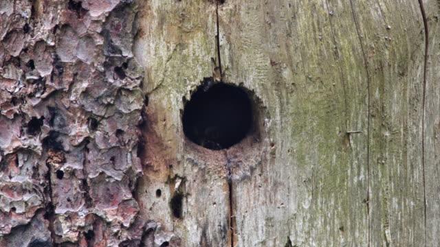 pygmy owl (glaucidium) in nest - trunk tree stock videos and b-roll footage