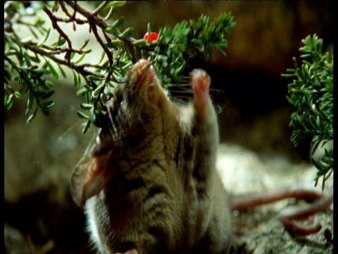 pygmy possum picks fruit from twig and nibbles at it, australia - twig stock videos & royalty-free footage