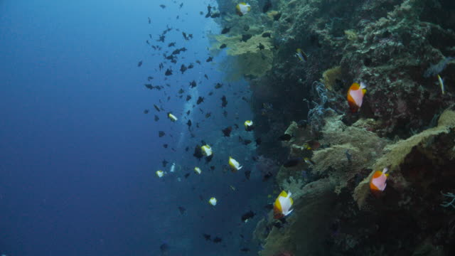pyramid butterflyfish and niger triggerfish in coral reef - hemitaurichthys polylepis stock videos and b-roll footage