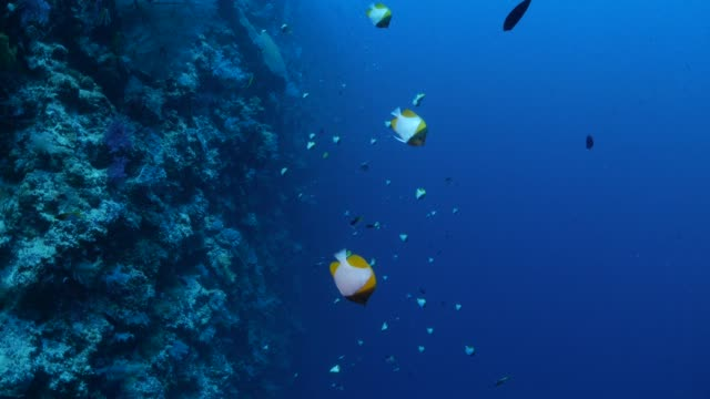 Pyramid butterflyfish schooling in undersea reef