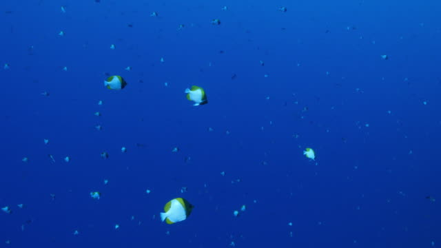 pyramid butterflyfish schooling underwater - hemitaurichthys polylepis stock videos and b-roll footage