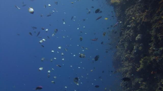 pyramid butterflyfish - butterflyfish stock videos & royalty-free footage