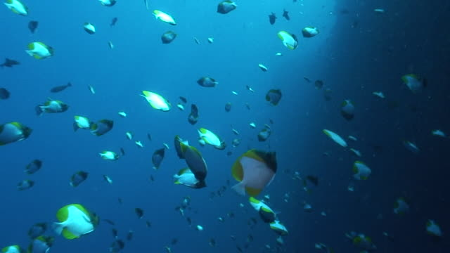 pyramid butterflyfish - hemitaurichthys polylepis stock videos and b-roll footage