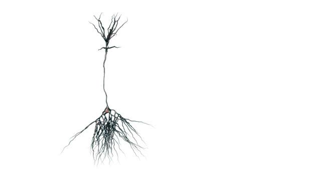 vídeos de stock, filmes e b-roll de pyramidal nerve cells - sinapse