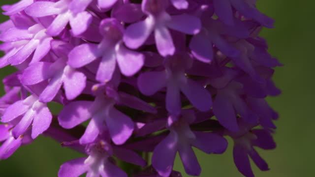 pyramidal orchid (anacamptis pyramidalis), south downs - サウスダウンズ点の映像素材/bロール