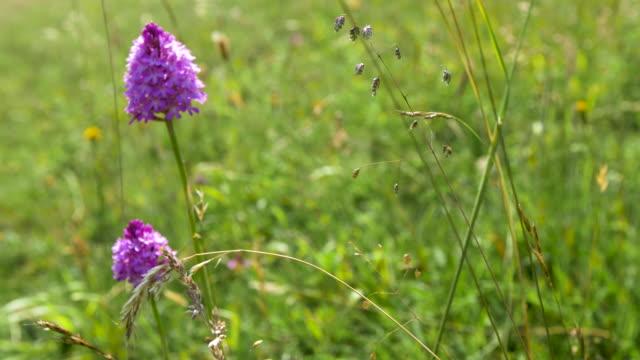 pyramidal orchids (anacamptis pyramidalis) grassland, south downs - サウスダウンズ点の映像素材/bロール
