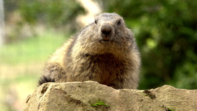 pyrenees' marmot close-up - marmot stock videos & royalty-free footage