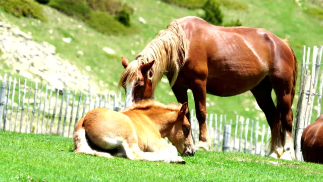 Pyrenees mountain horses