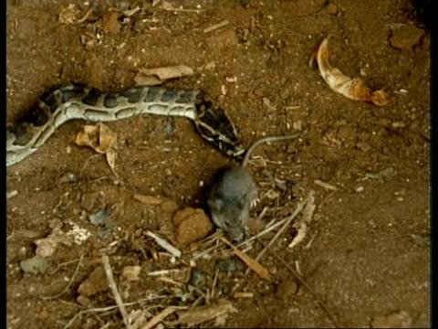 ms python attacks prey and constricts prey, kenya - 殺す点の映像素材/bロール