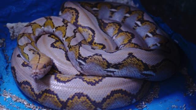 python bivittatus - animal markings stock videos & royalty-free footage
