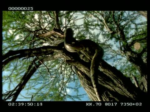 mcu python moving up tree, from below - 長さ点の映像素材/bロール