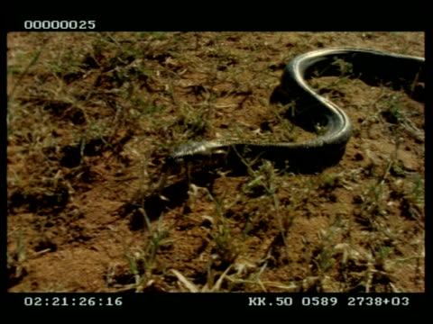 mcu python slithering along ground - 長さ点の映像素材/bロール
