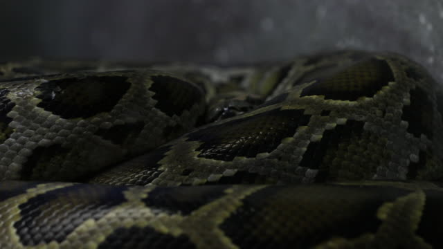 python slithering on the ground - animal body part stock videos & royalty-free footage