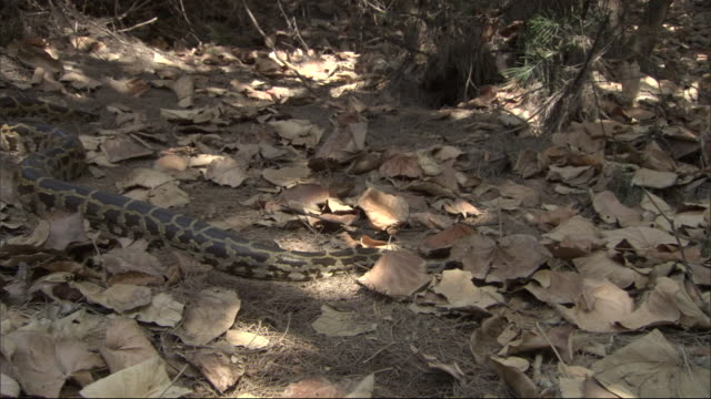 vídeos de stock e filmes b-roll de python slithers through leaf litter, madras crocodile bank trust, india available in hd. - castanho