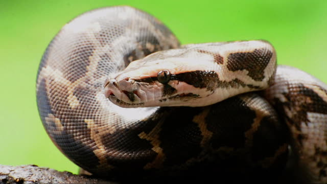 python snake - snake stock videos & royalty-free footage
