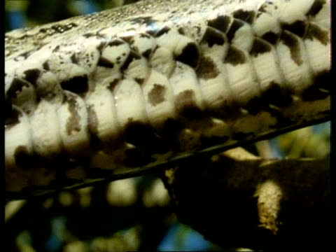 bcu pythons underside scales moving, kenya - scaly stock videos and b-roll footage
