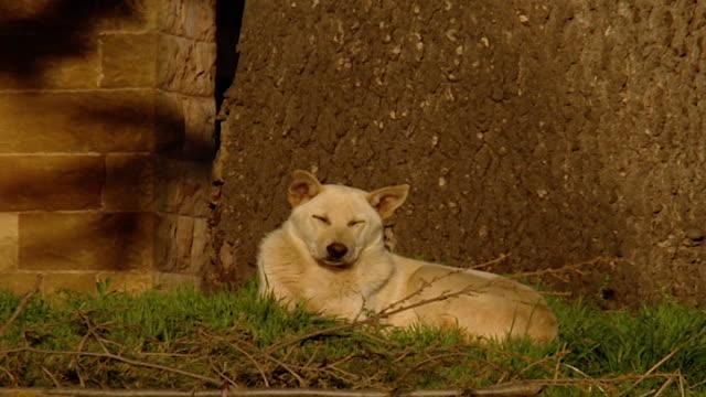 qadisha valley. a dog underneath a cedar tree. - pinaceae stock videos & royalty-free footage