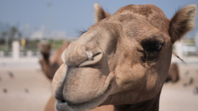 qatar - camels in the city - middle eastern culture stock videos & royalty-free footage