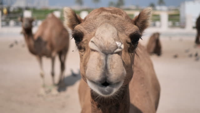 qatar - camels in the city - camel stock videos & royalty-free footage