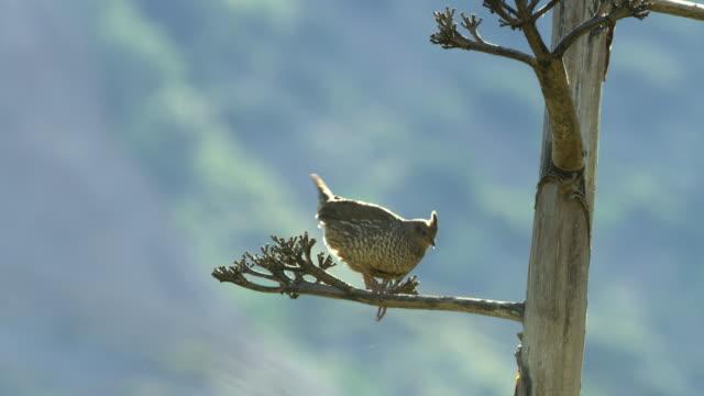 quail perching on tree - perching stock videos & royalty-free footage