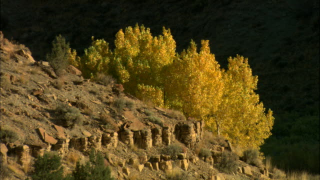 ms, quaking aspen (popolus tremuloides) on hillside in autumn colors, utah, usa - aspen tree stock videos & royalty-free footage