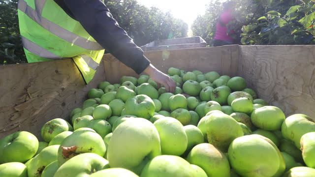 quality control of freshly picked bramley apples during a harvest in coxheath, kent, u.k., on thursday, september 16, 2021. - apple fruit stock videos & royalty-free footage