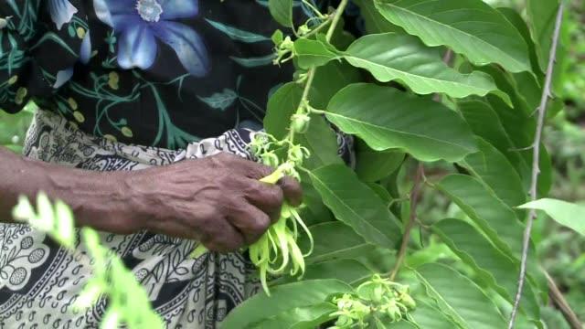 stockvideo's en b-roll-footage met que tiene en comun el pobre archipielago de las comoras y el perfume chanel n ° 5 la respuesta se llama ylang ylang - agricultura