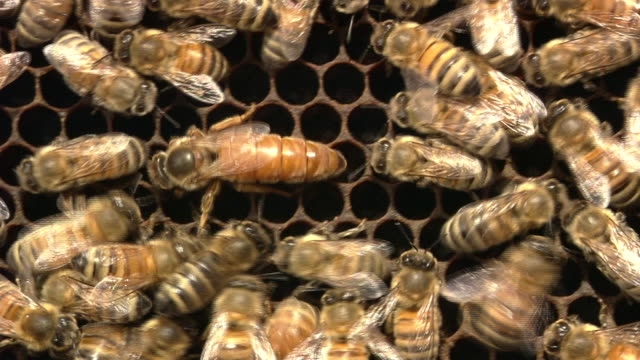 vídeos de stock, filmes e b-roll de queen and workers of honey bee - abelha obreira