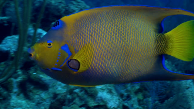 queen angel fish over reef in caribbean - angelfish stock videos & royalty-free footage