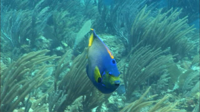 CU, Queen angelfish (Holacanthus ciliaris) swimming in coral reef, Peter Island, British Virgin Islands, United Kingdom