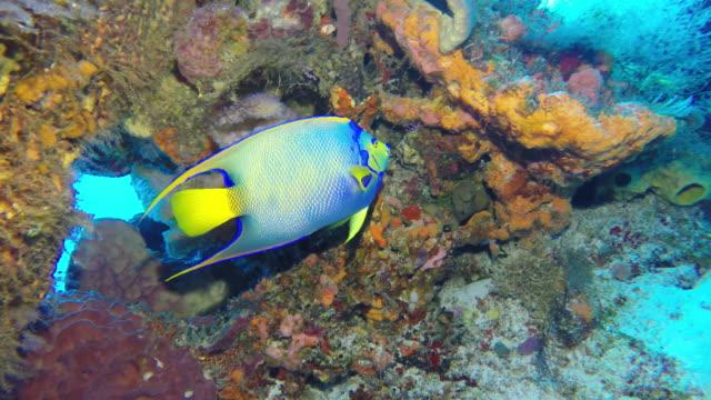 queen angelfish - エンゼルフィッシュ点の映像素材/bロール