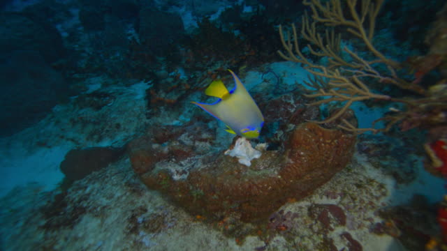 queen angelfish - yucatan peninsula stock videos and b-roll footage