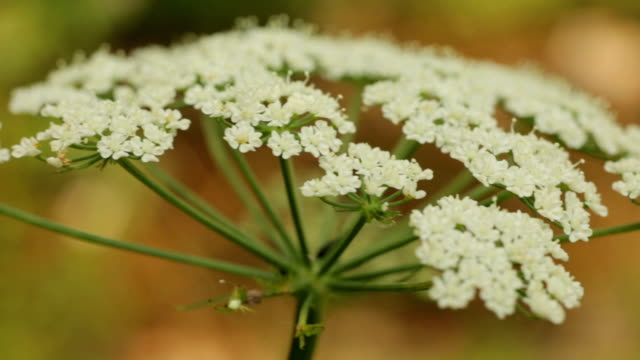 queen anne's lace - close up - parsley stock videos and b-roll footage