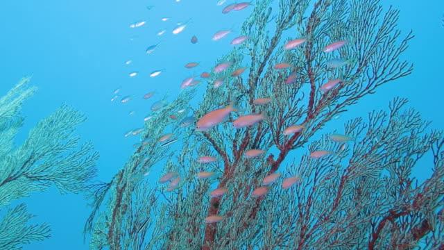 queen anthias swimming in taketomi island, okinawa, japan - okinawa prefecture stock videos & royalty-free footage
