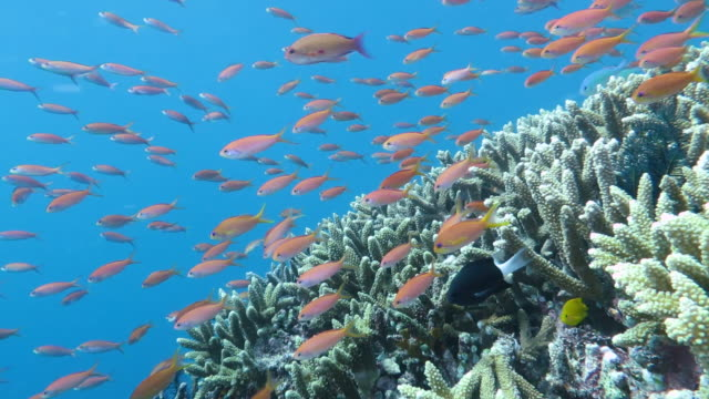 queen anthias swimming in taketomi island, okinawa, japan - okinawa stock videos and b-roll footage