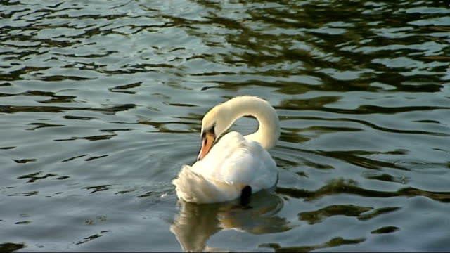 vídeos de stock, filmes e b-roll de queen attends annual swan upping ceremony; england: london: river thames: ext good shots of swans in water / rowing boat along river / steam launch... - organismo aquático