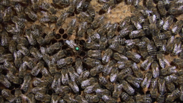 A queen bee is surrounded by worker bees in a beehive.