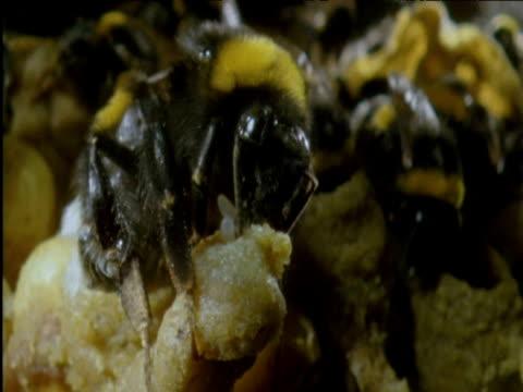 queen bumble bee eats a worker bee's eggs in nest - nest stock-videos und b-roll-filmmaterial