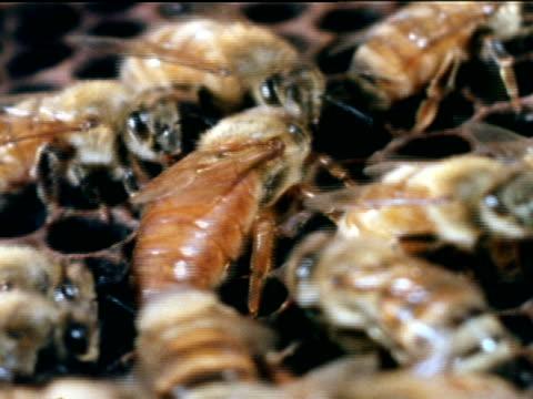 vídeos de stock, filmes e b-roll de queen honey bee walking into center of worker bees on comb w/ open cells - abelha obreira