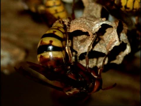 vidéos et rushes de cu queen hornet (vespa crabro) laying egg in hexagonal cell of nest, england - vespa