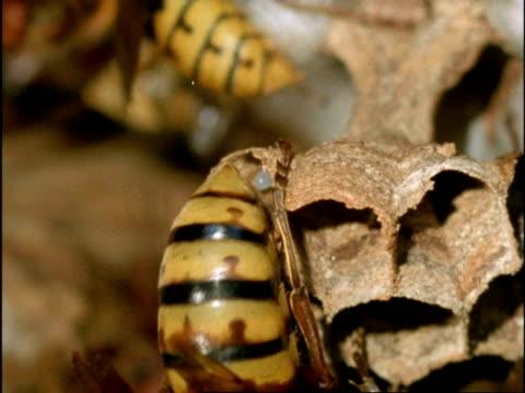 vidéos et rushes de bcu queen hornet (vespa crabro) laying egg in hexagonal cell of nest, england - vespa