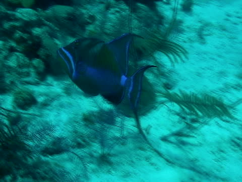 MS, Queen triggerfish (Balistes vetula) swimming in sea, Turks and Caicos Islands