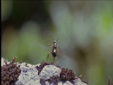 queen wood ant takes off switzerland - animal wing stock videos & royalty-free footage