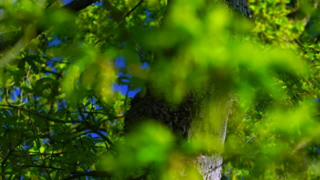 quercus robur, commonly known as pedunculate oak or english oak, oak - roble albar, cantabrian sea, liendo, cantabria, spain, europe - oak tree stock videos and b-roll footage