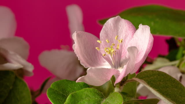 vídeos de stock e filmes b-roll de quince flower blooming and rotating in a time lapse video against red background. - pistilo